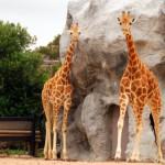 жирафики в своем вольере